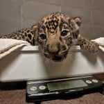 A jaguar cub sits on a scale at the San Diego Zoo