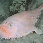 coffinfish-animales-raros