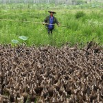 A farmer herds a flock of ducks towards a pond in Taizhou