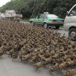 A driver looks out from his car as a flock of ducks are herded by farmers along a street towards a pond as vehicles drive past in Taizhou