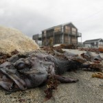 A dead fish lies on the beach as clean up from Hurricane Sandy begins in Scituate