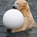 GERMANY-ANIMALS-POLAR BEAR-FEATURE