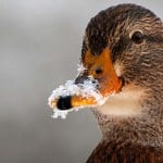 GERMANY-WEATHER-ANIMALS-DUCK-FEATURE