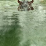GERMANY-ANIMALS-HIPPOPOTAMUS