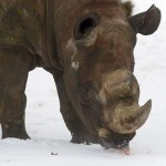 GERMANY-ANIMALS-RHINO
