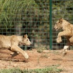 MOROCCO-ANIMALS-LIONS-ENVIRONMENT