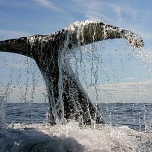 a-cola-ballena-jorobada1-300x300
