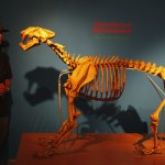 A youth looks at a replica of an 'Homotherium venezuelensis' fossil during an exhibition in Caracas