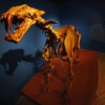 A replica of a 'Homotherium venezuelensis' fossil is seen during an exhibition in Caracas