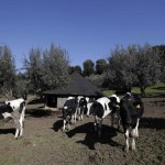 Cows are seen in the garden of the summer residence of Pope Benedict XVI in Castel Gandolfo