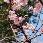 JAPAN-CHERRY-BLOSSOM