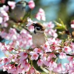 JAPAN-WEATHER-BLOSSOMS