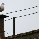 A seagull rests on the chimney of the Sistine Chapel in Saint Peter's Square at the Vatican