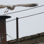 A seagull flies off from the chimney of the Sistine Chapel in Saint Peter's Square at the Vatican