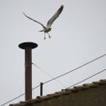 A seagull flies of from the chimney of the Sistine Chapel in Saint Peter's Square during the second day of voting for the election of a new pope at the Vatican