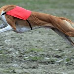 POLAND-ANIMALS-DOG-COURSING