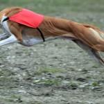 POLAND-ANIMALS-DOG-COURSING