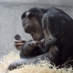 GERMANY-ANIMALS-BONOBO