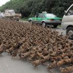 China trafico de patos