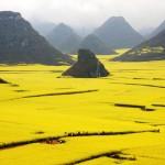 Campos de Flor de canola (China)