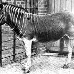 Especie extinguida Quagga (foto tomada en 1870)