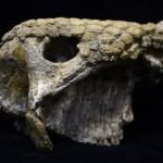 Cráneo de glyptodontidae una familia extinta de mamíferos placentarios, una especie de armadillo gigante Foto: AFP