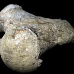 Parte del fémur de un mamut Foto: AFP