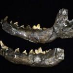 La mandíbula de un lobo prehistórico Foto: AFP