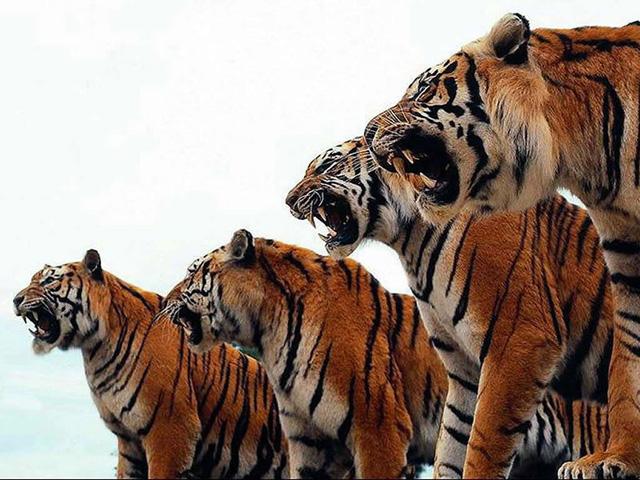 YO ESTOY CONTRA EL MALTRATO ANIMAL - Página 3 Tigres1640