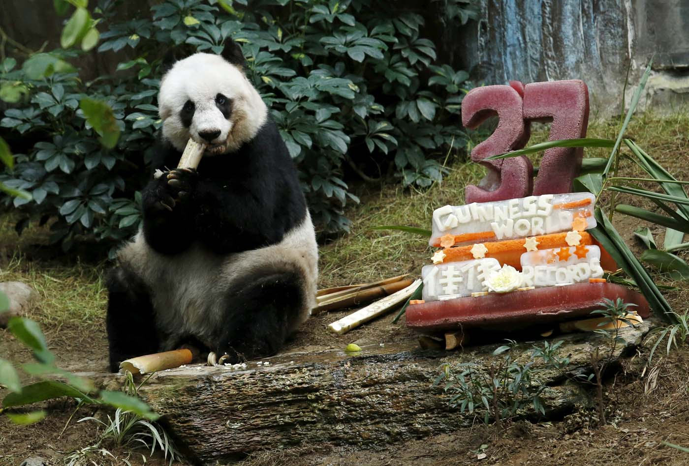 Giant panda Jia Jia eats beside a birthday cake made from ice and vegetables as she celebrates her 37-year-old birthday at the Hong Kong Ocean Park