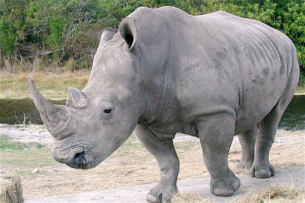 rinoceronte.blanco