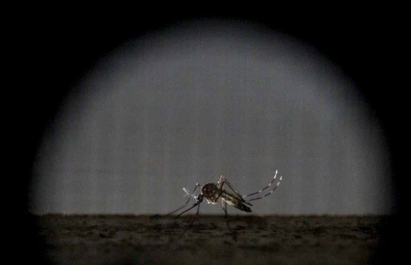Foto del jueves de una hembra del mosquito Aedes aegypti en un área de investigación en el Departamento de Salud Pública de Guatemala. Ene 28, 2016. Compañías y científicos están en una carrera contrarreloj para crear una vacuna contra el Zika, porque crece el temor a que el virus transmitido por un mosquito, y que ha sido ligado a severas malformaciones de nacimiento, se propague rápidamente por América. REUTERS/Josue Decavele