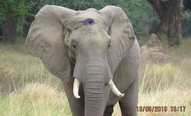 Elefante pide ayuda tras recibir disparo en la cabeza!