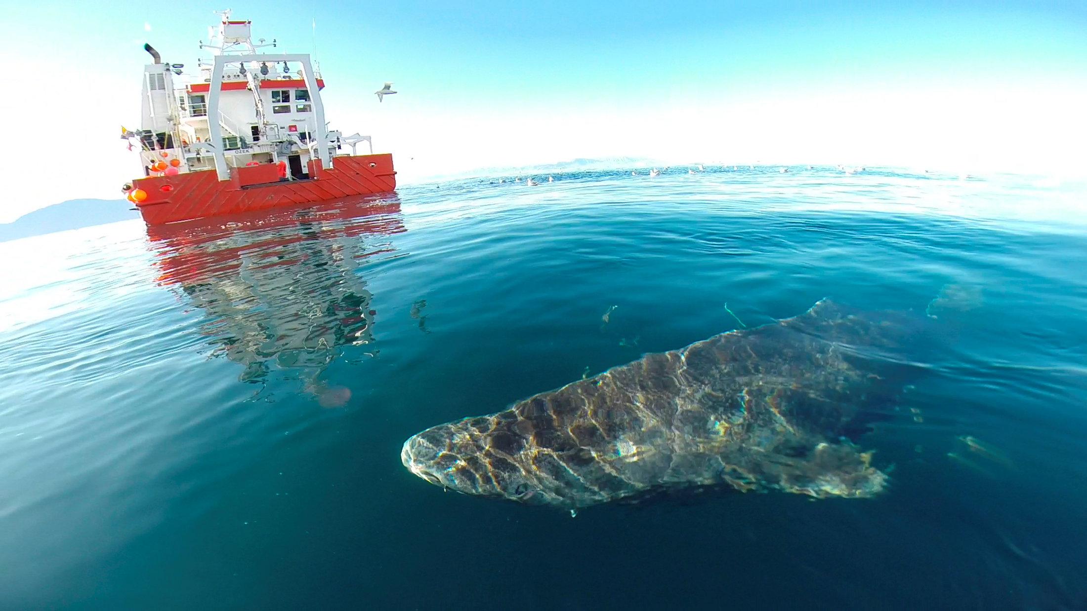 Tiburon de Groenlandia