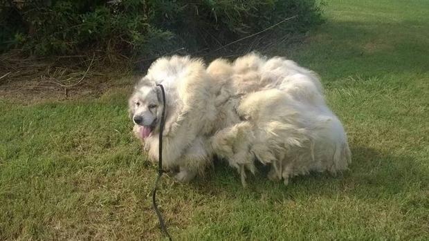 Perro Oveja le cortan 15 kilos de pelo luego de rescatarlo!