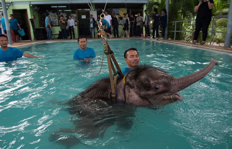 Six month-old baby elephant 'Clear Sky' is kept afloat by a harness during a hydrotherapy session at a local veterinary clinic in Chonburi Province on January 5, 2017. After losing part of her left foot in a snare in Thailand, baby elephant 'Clear Sky' is now learning to walk again -- in water. The six-month-old is the first elephant to receive hydrotherapy at an animal hospital in Chonburi province, a few hours from Bangkok. The goal is to strengthen the withered muscles in her front leg, which was wounded three months ago in an animal trap laid by villagers to protect their crops. / AFP PHOTO / ROBERTO SCHMIDT