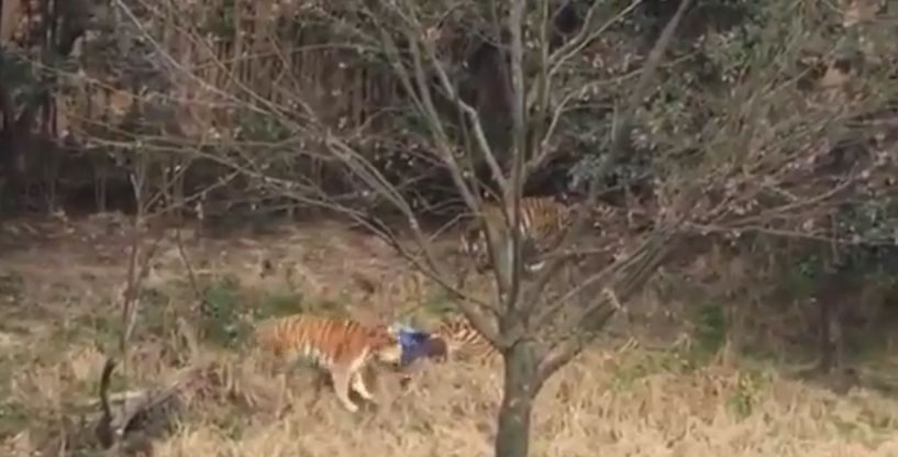 tigrezoo1