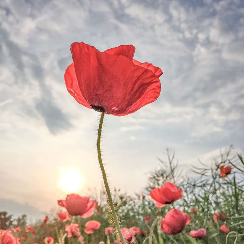"""PRIMER LUGAR, FLORES """"Tomé esta foto en un día caluroso a finales de mayo de 2015. En mi camino a casa del trabajo vi este campo lleno de amapolas rojas encendidas, capturando la última luz del día. Un fin perfecto para un buen día."""""""