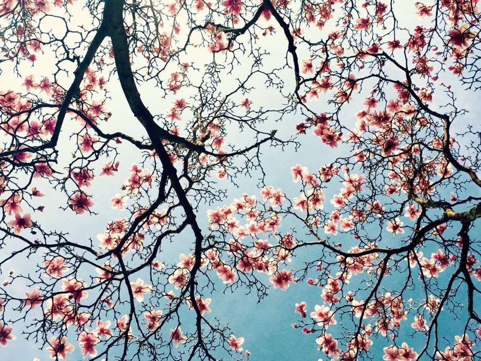"""TERCER LUGAR, FLORES """"Fue una hermosa tarde de marzo, cielo azul brillante y suave beso de brisa. Cuando salí de mi edificio de oficinas en el centro de Wilmington, mis ojos se vieron atrapados por esas magnolias florecientes, parecen corazones delicadamente rosados desplegados suavemente""""."""