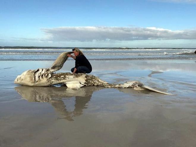 Tiburón muerto en Sudáfrica / Foto: Marine Dynamics