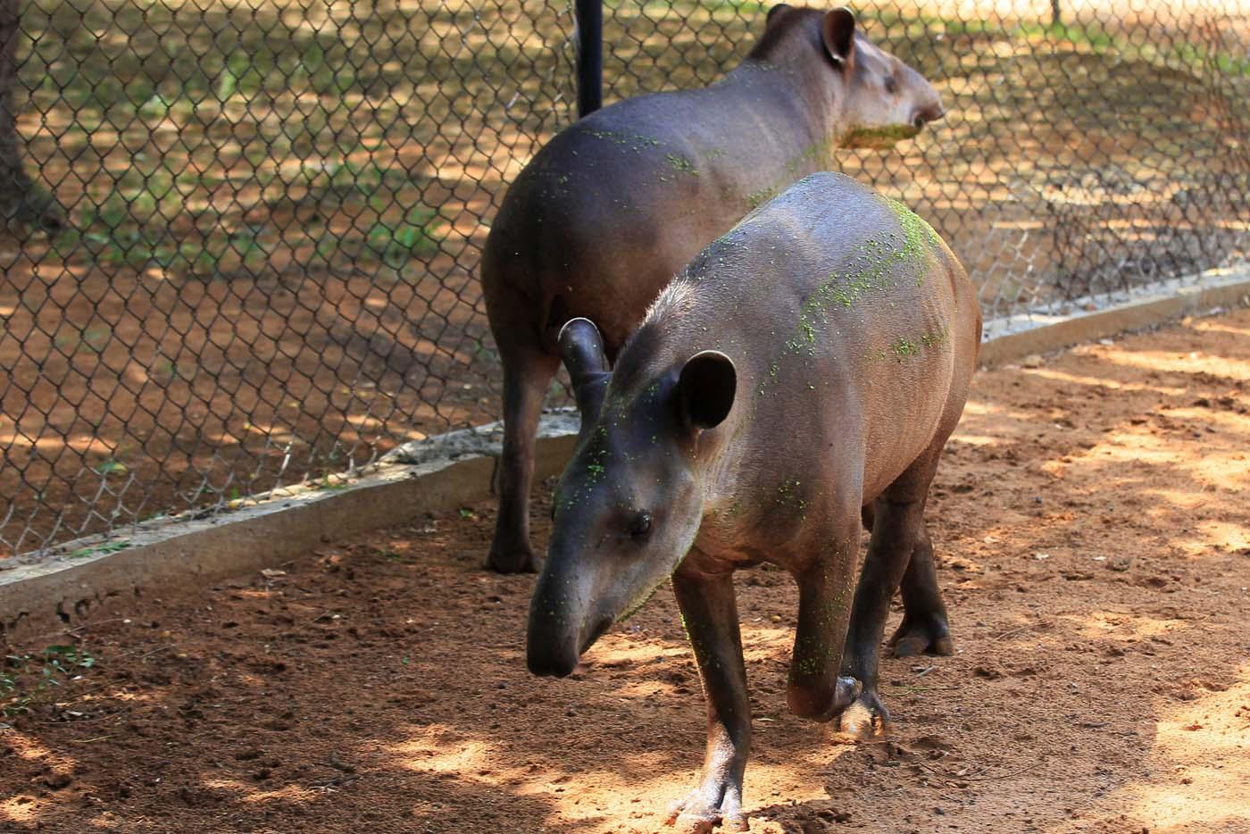 Tapirs are seen at the Zulia's Metropolitan Zoological Park in Maracaibo, Venezuela August 16, 2017. REUTERS/Isaac Urrutia