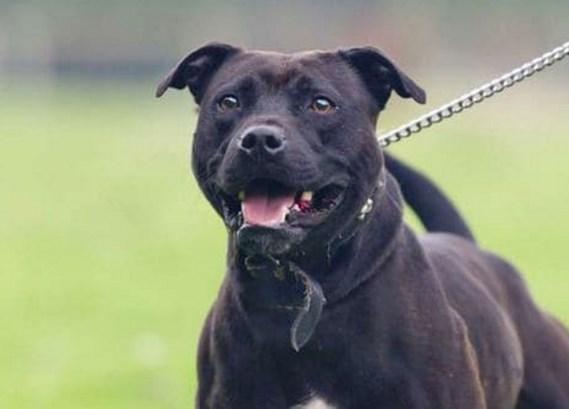 Staffordshire Bull Terrier (Imagen de referencia)