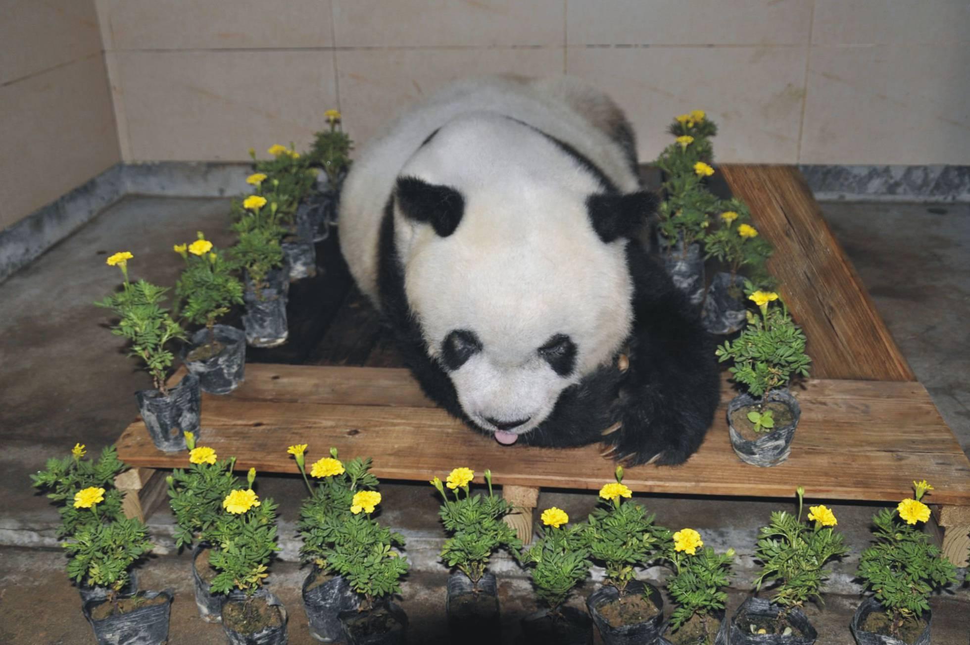 El cuerpo de 'Basi', rodeado de flores tras su muerte en Fuzhou, en la provincia china de Fujian. AFP