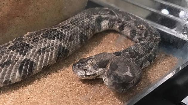 serpiente-dos-cabezas-1920-02