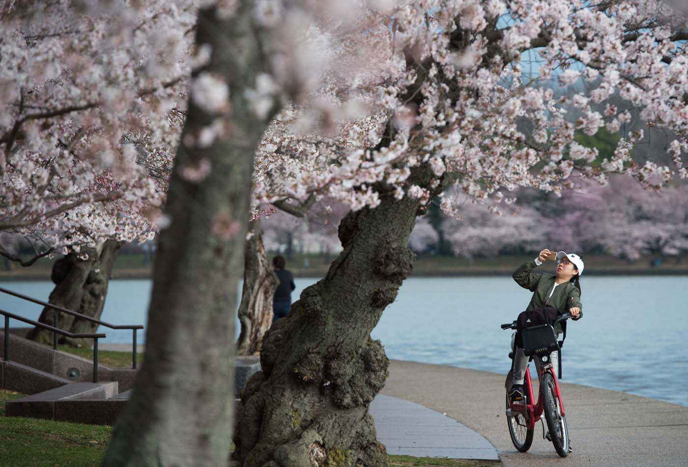 A woman photographs the Cherry Blossom trees as they bloom around the Tidal Basin in Washington, DC, April 4, 2018. / AFP PHOTO / SAUL LOEB