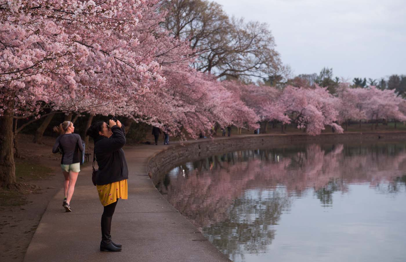A woman photographs the Cherry Blossom trees as they bloom around the Tidal Basin at sunrise in Washington, DC, April 4, 2018. / AFP PHOTO / SAUL LOEB