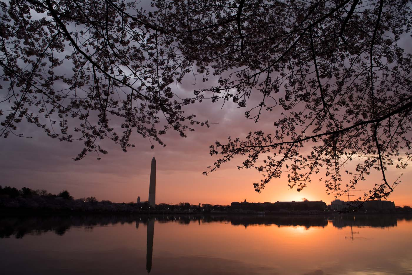 The Cherry Blossom trees bloom around the Tidal Basin at sunrise in Washington, DC, April 4, 2018. / AFP PHOTO / SAUL LOEB