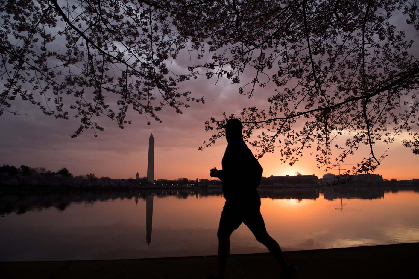 A man jogs past the Cherry Blossom trees as they bloom around the Tidal Basin at sunrise in Washington, DC, April 4, 2018. / AFP PHOTO / SAUL LOEB