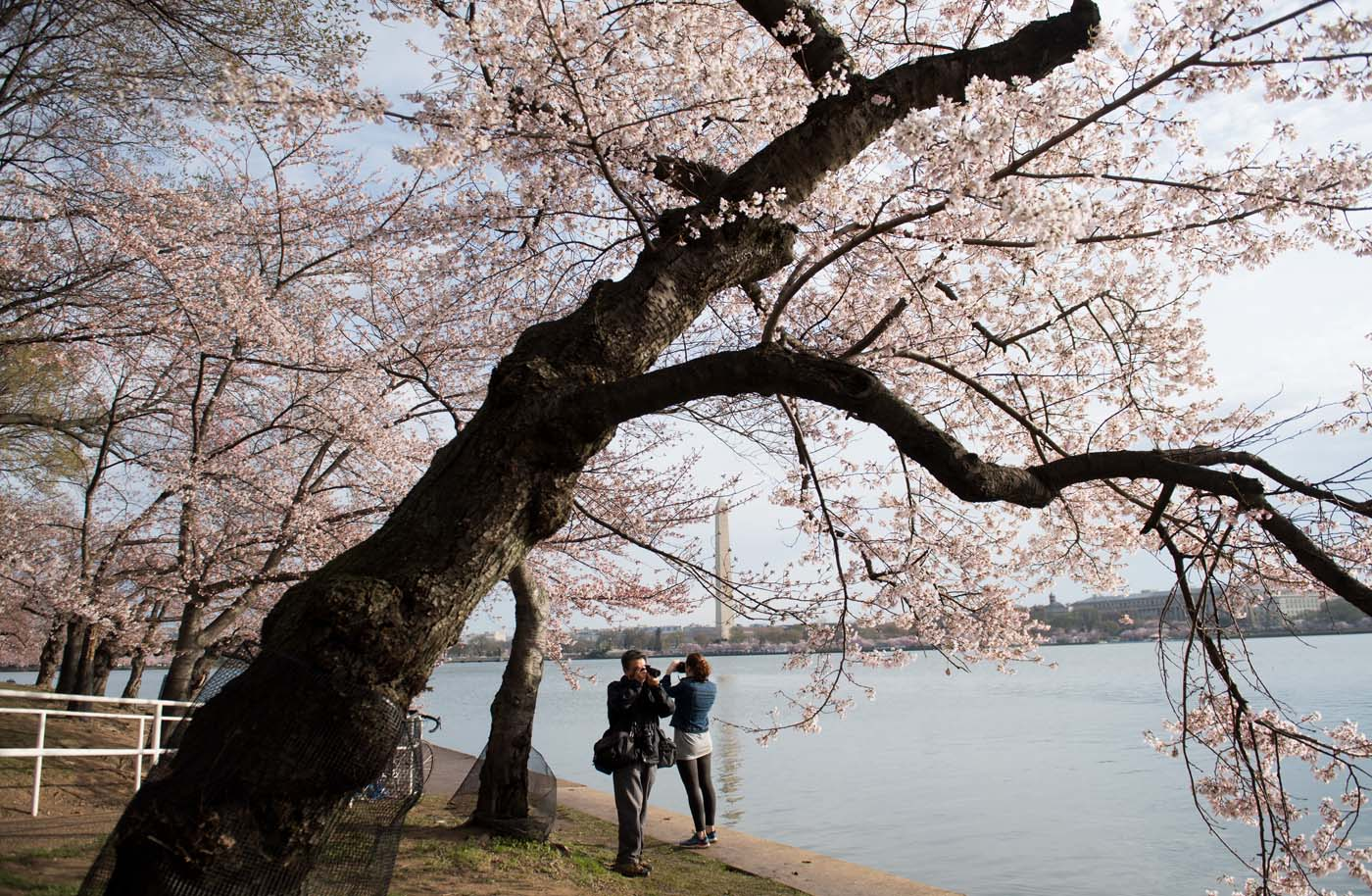 People photograph Cherry Blossom trees as they bloom around the Tidal Basin in Washington, DC, April 4, 2018. / AFP PHOTO / SAUL LOEB