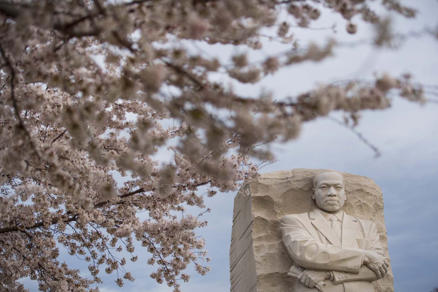Cherry blossoms bloom near the MLK Monument ahead of a ceremonial wreath laying in honor of the 50th anniversary of the assassination of the Rev. Martin Luther King Jr. in Washington, DC, on April 4, 2018. / AFP PHOTO / JIM WATSON